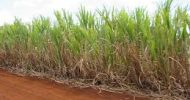 Indian Firm to Invest 150 dollars on Sugar cane project