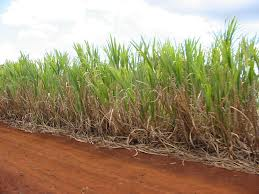 A Sugar cane plantation