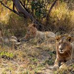 Some Lions in South Luangwa National Park, Photo: Wildlife Extra