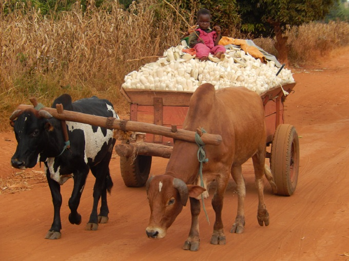 Ox-Cart-Child-Driver