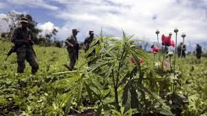 Mexico, which is being whipped by a drug cartels war, has seen a proposal from the Mexico City council to allow pot clubs. Photo: AFP