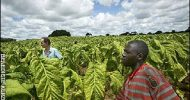 Tobacco farmers threaten to report merchants to police for theft