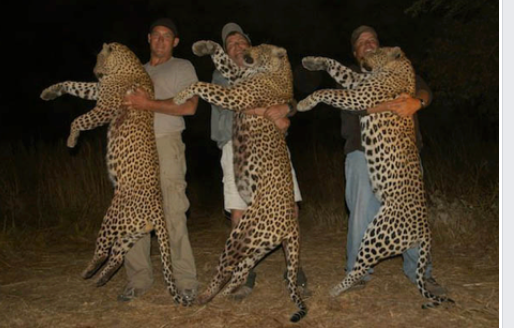dead leopards