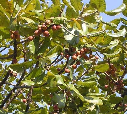 wild loquats in a tree-1