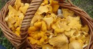 Medicinal powers of chanterelle mushrooms