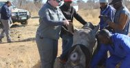 A rare rhino horn harvesting experience