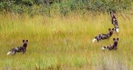 African wild dogs that vanished from Liuwa Park spotted in Angola