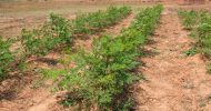 Moringa project to improve nutrition in NWP