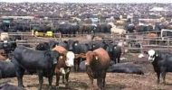 I started my cattle ranch with six cattle – HH